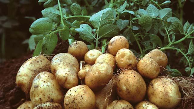 Những cách giảm cân bằng khoai tây mang lại hiệu quả bất ngờ cho các chị em